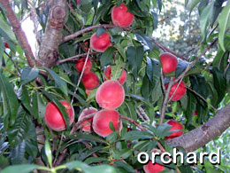 click for images of the orchard